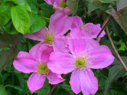 clematis pink copia
