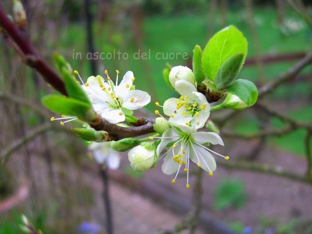 fiore di melo copia