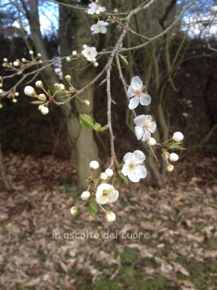 fiori di prugna copia