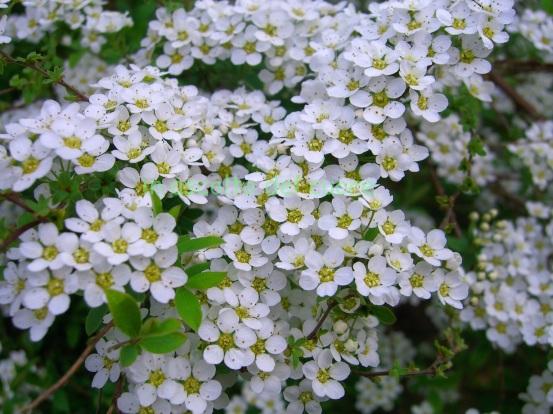 fiori spiria