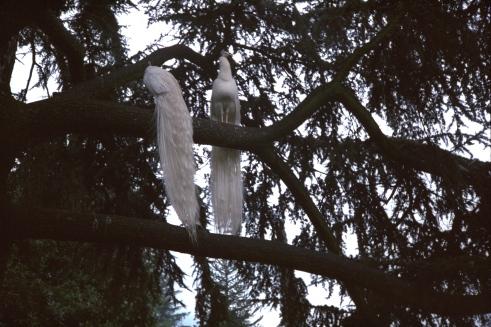 pavoni bianchi