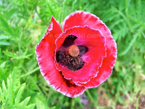 Poppies (3) copia
