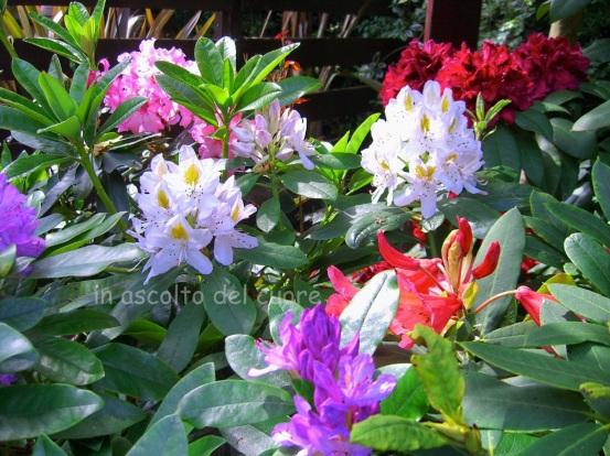 rododendro1 copia