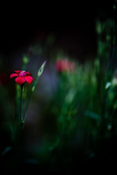 fiore rosso nel buio