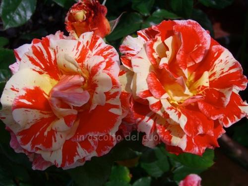 roses copia