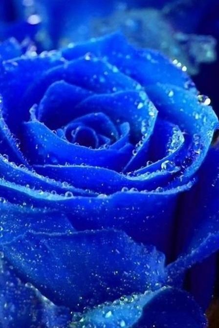 Rosa blu.jpg