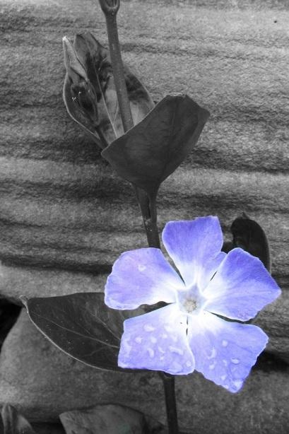 fiore azzurro