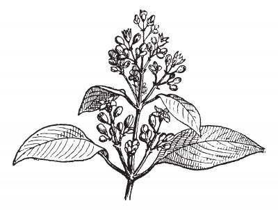 fiore di sandalo