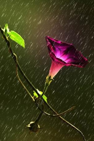 fiore pioggia