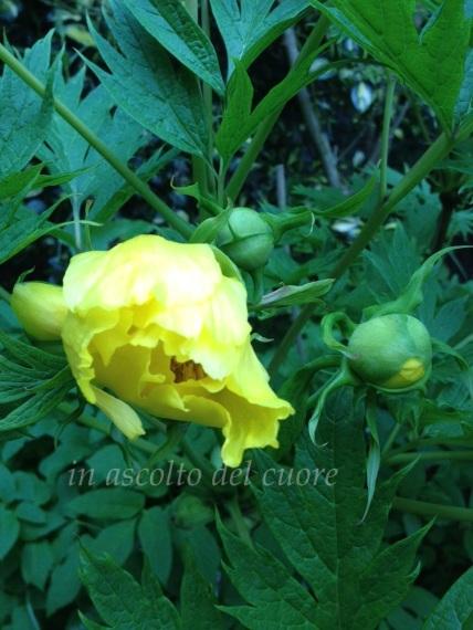 peonia gialla