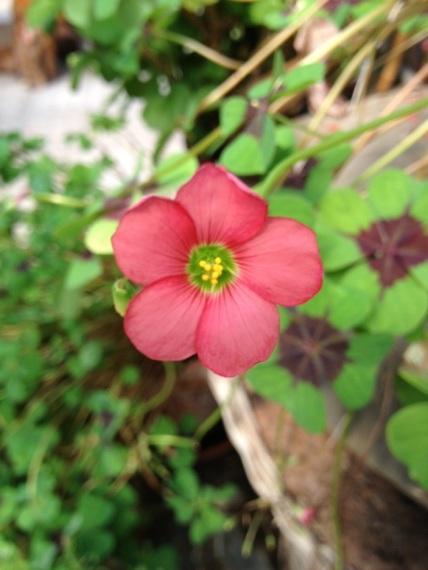 fiore quadrifoglio