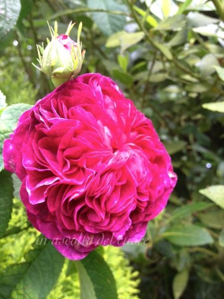 rosa porpora arruffata