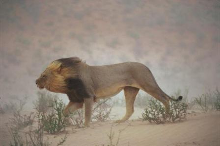 leone sabbia