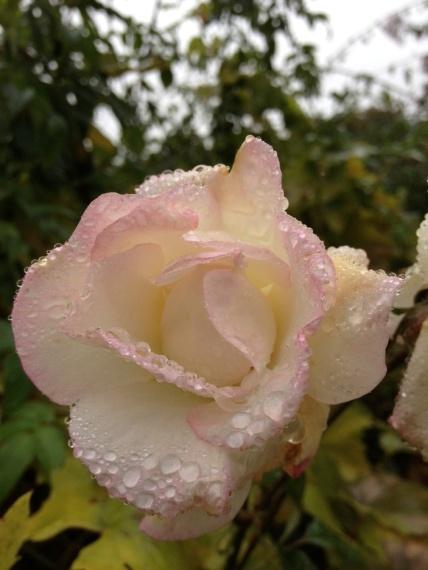 rosa con rugiada
