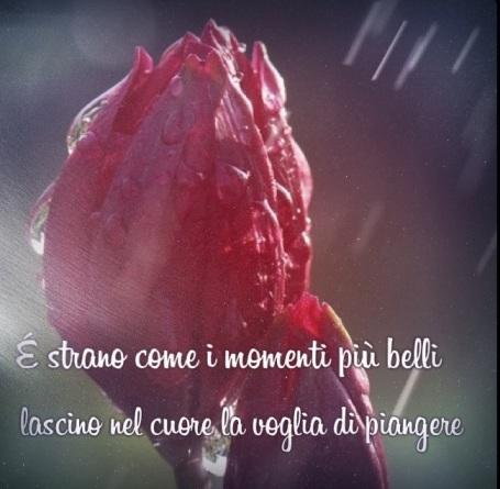 tulipani pioggia