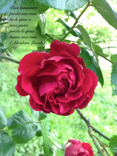 rosa-spine