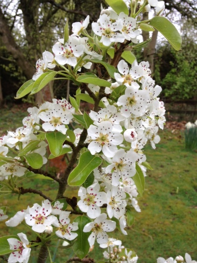 Pear flowers2
