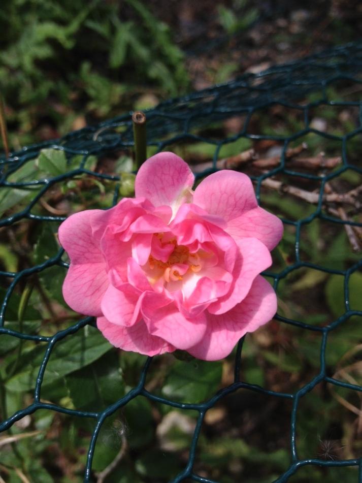 rosa 25