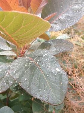 rugiada foglie
