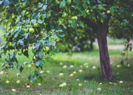 albero mele